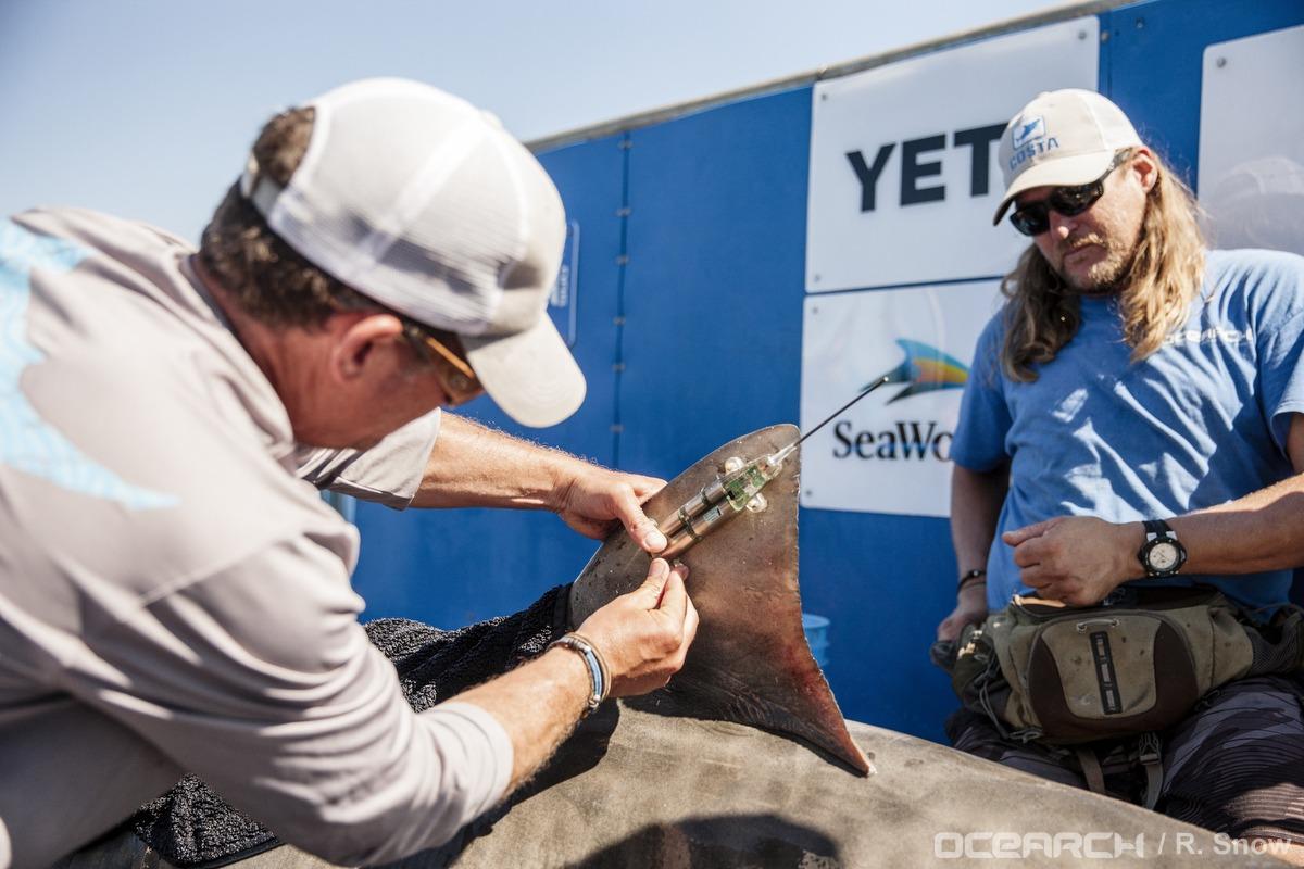 OCEARCH Shark Tagging