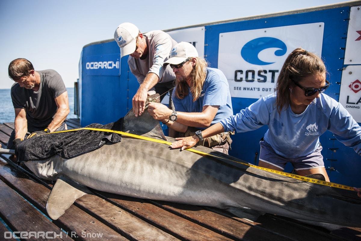 OCEARCH tiger shark research - Wrightsville Beach, North Carolina