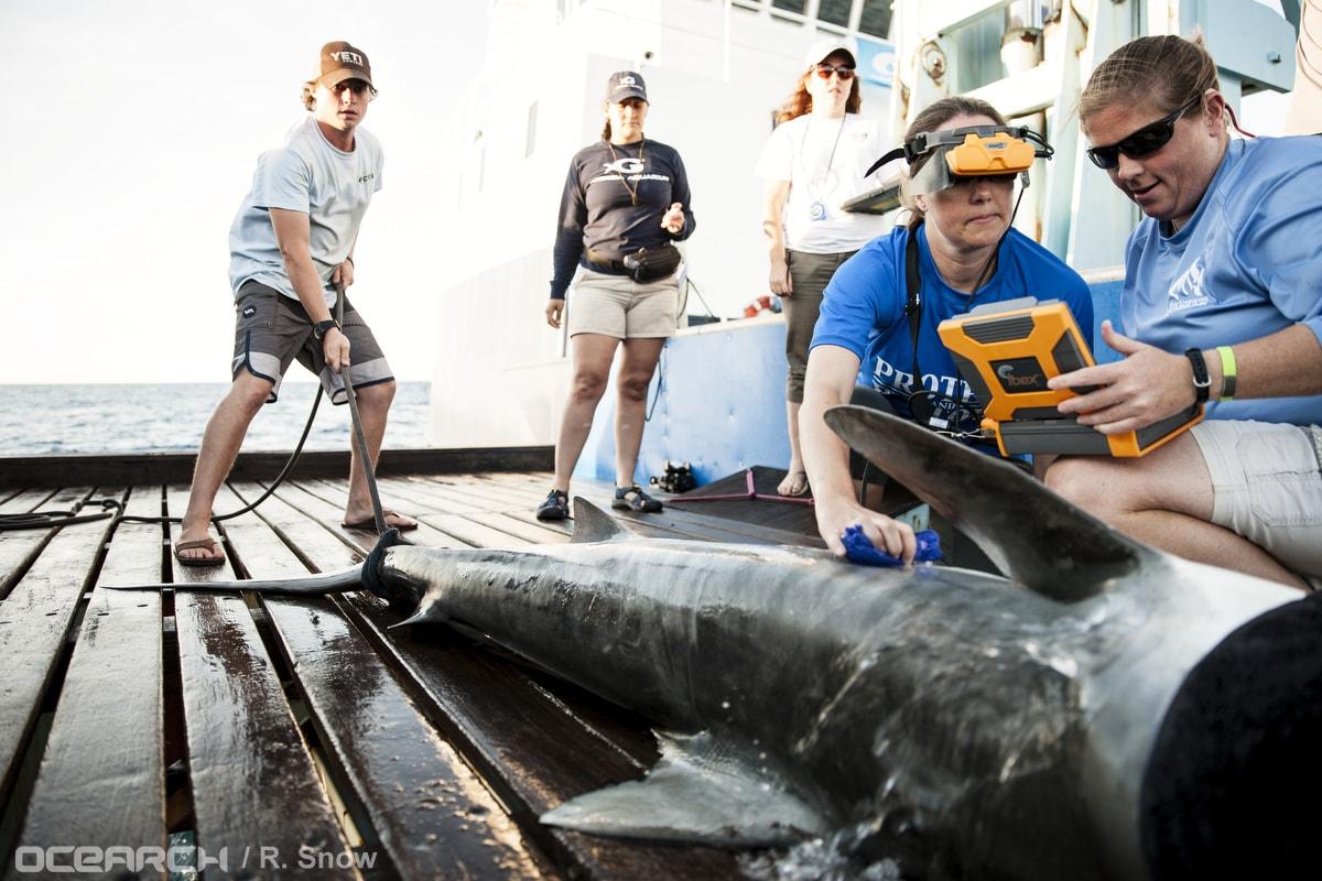 OCEARCH tiger shark multiple studies - Wrightsville Beach, North Carolina