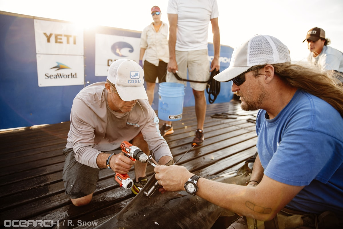OCEARCH tiger shark tagging for tracking - Wrightsville Beach, North Carolin